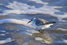 Sanderling с пеной моря Стоковое Изображение