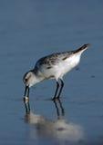 sanderling螃蟹的沙子 库存照片