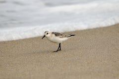 sanderling Стоковая Фотография
