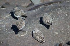 Sanderling Στοκ εικόνες με δικαίωμα ελεύθερης χρήσης