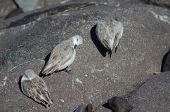 Sanderling Στοκ φωτογραφία με δικαίωμα ελεύθερης χρήσης