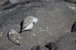 Sanderling Στοκ Εικόνα