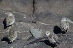 Sanderling Στοκ Φωτογραφίες