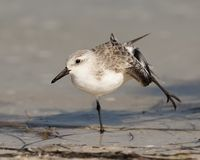 Sanderling Foto de Stock Royalty Free