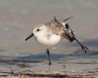 sanderling royaltyfri foto