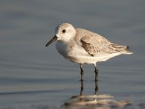 Sanderling Fotografia Stock