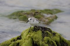 sanderling Obrazy Royalty Free