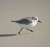 Sanderling Fotos de Stock Royalty Free
