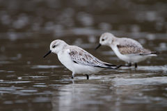 Sanderling. Two sanderling a the coast shore Royalty Free Stock Images