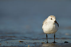 Sanderling Fotografia Royalty Free