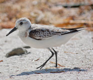 Sanderling. Close-up of Sanderling (Calidris alba) hunting on a beach Royalty Free Stock Image