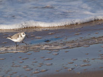 Sanderling Stockbild