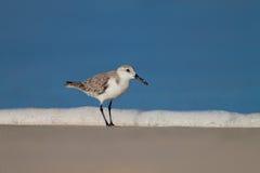Sanderling. A sanderling in it`s natural habitat Royalty Free Stock Photo