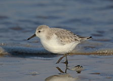 Sanderling Photographie stock libre de droits