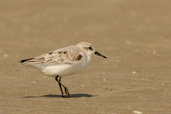 Sanderling Fotografie Stock