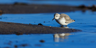 Sanderling Fotografia de Stock Royalty Free