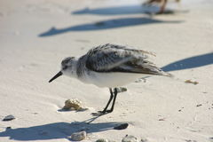 Sanderling Obrazy Stock