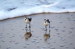 Sanderling images libres de droits