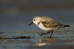 sanderling Alba calidris Obraz Royalty Free