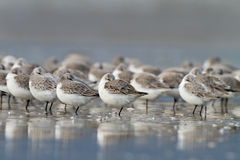 sanderling Alba calidris Obrazy Royalty Free