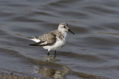 Sanderling, alba Calidris Royalty-vrije Stock Foto