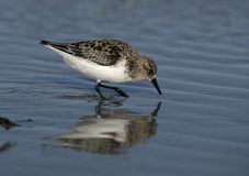 Sanderling, alba Calidris Stock Foto's