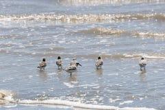 Sanderling, alba Calidris Royalty-vrije Stock Foto