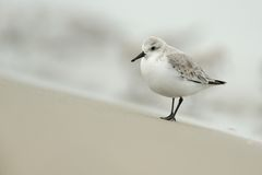 Sanderling (alba Calidris) Stock Foto's