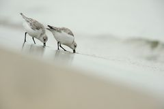 Sanderling (alba Calidris) Royalty-vrije Stock Foto's