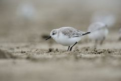 Sanderling (alba Calidris) Royalty-vrije Stock Foto