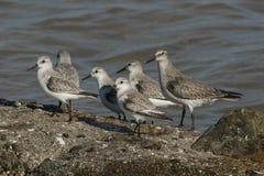 Sanderling alba Calidris en een canutus die van Knoopcalidris op een rots zich at high tide in Kent, het UK bevinden Royalty-vrije Stock Afbeelding