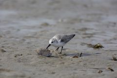 Sanderling, alba Calidris, sanderlings, vogels royalty-vrije stock foto's
