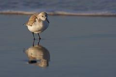Sanderling (alba die Calidris) zich in branding bevindt Royalty-vrije Stock Foto