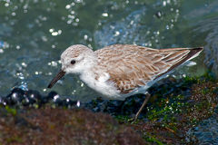 Sanderling Photos stock