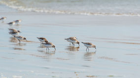 Sanderling along shoreline at Pismo Beach, California, USA Royalty Free Stock Images