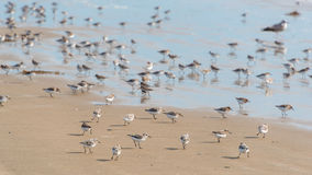 Sanderling along shoreline at Pismo Beach, California, USA Stock Images