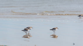 Sanderling along shoreline at Pismo Beach, California, USA Stock Photos