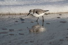 Sanderling in Assateague-Eiland Nationale Kust stock foto's