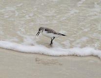 Sanderling auf dem Wasser Stockfotos