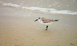 Sanderling auf Strand Lizenzfreie Stockfotografie
