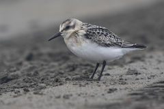 Sanderling in the autumn outfit misty cloudy Royalty Free Stock Photography