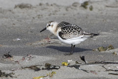 Sanderling in autumn plumage standing on sandy beach Stock Photography