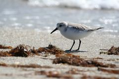 Sanderling on the beach stock photos