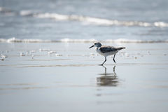 Sanderling on Beach in Galveston, TX. Sanderling running across beach with reflection in Galveston, Texas stock images