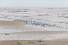 Sanderling at the beach Stock Image