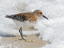 Sanderling on Beach Stock Photo