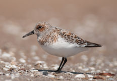 Sanderling. A beautiful spring plumaged Sanderling forages on a Lake Michigan beach during its northward migration Stock Photos