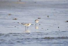 Sanderling shorebirds on beach, Hilton Head Island. Sanderling bird, Calidris alba, on beach surf. Hilton Head Island, South Carolina, USA. Fish Haul Park and Royalty Free Stock Photography