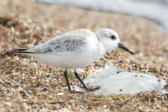 Sanderling Bird Eating a Jellyfish on the Beach Royalty Free Stock Image