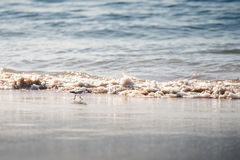 Sanderling bird, a type of sandpiper, in wet beach sand Stock Photo